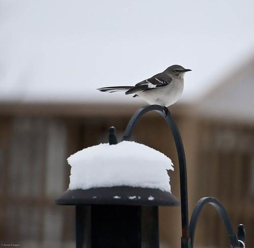 365/30: Winter Mockingbird