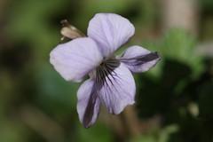 氷取沢市民の森のスミレ(Violet at Hitorizawa civic forest, Japan)