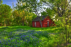 Cottage in the Woods with Bluebonnets