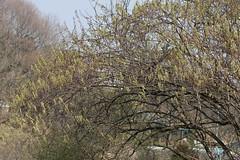 新治市民の森のキブシ(Stachyurus praecox at Niiharu civic forest, Japan)