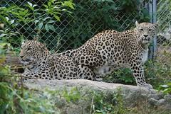 Persische Leoparden im Parc zoologique et botanique de Mulhouse