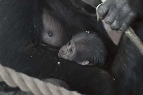Gorilla Jungtier im Gaia Park in Kerkrade
