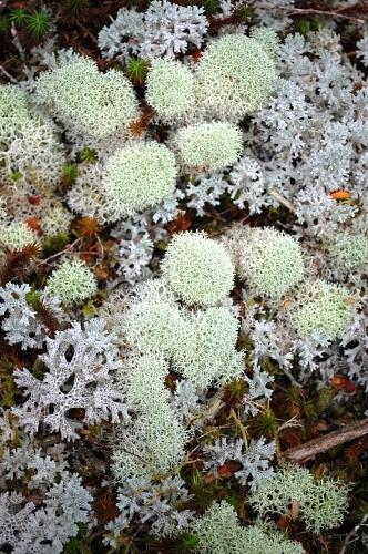 Cladina confusa (Reindeer lichen) and Cladia retipora (Coral lichen)