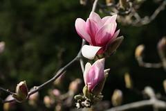 新治市民の森のモクレン(Magnolia at Niiharu civic forest, Japan)