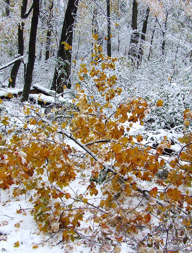 October snowstorm 1: fallen red maple limb