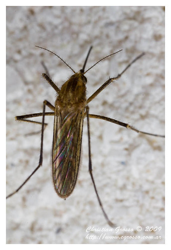 "Mosquito • <a style=""font-size:0.8em;"" href=""http://www.flickr.com/photos/20681585@N05/4350575778/"" target=""_blank"">View on Flickr</a>"