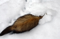 Dexter Ferret in the Snow