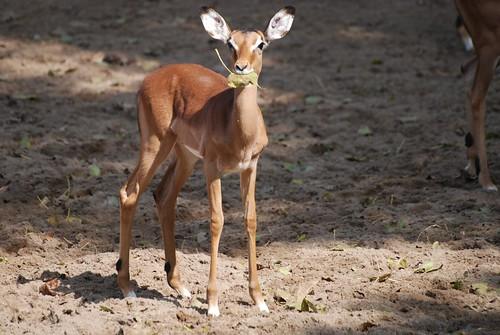 Impala  im Zoo de La Palmyre