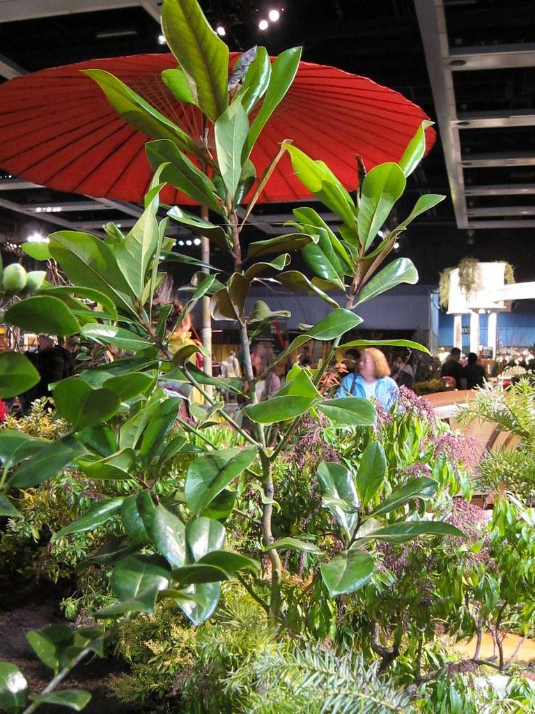 Magnolia grandiflora 'Southern Charm'