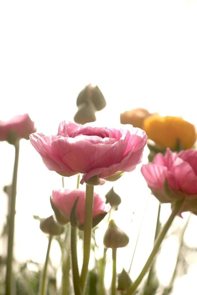 Ranunculus #2
