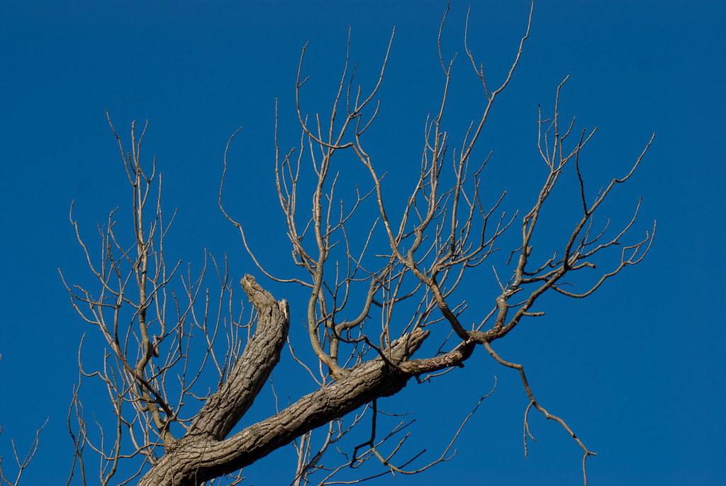 Wytham tree 1