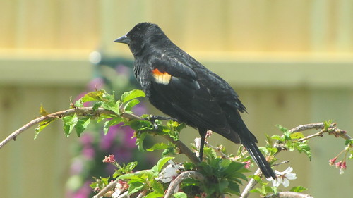 Red-winged Blackbird resting on a weeping cherry tree.
