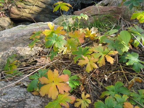 wild geranium's fall colors
