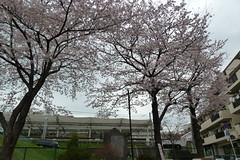 梶が谷の桜(Cherry blossom at Kajigaya, Japan, 2010)