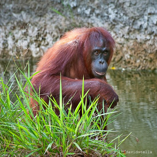 orangutan at lok kawi wildlife park.