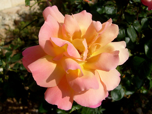 Pink and Gold Rose