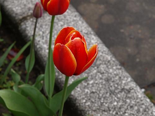 高岡路旁的小花