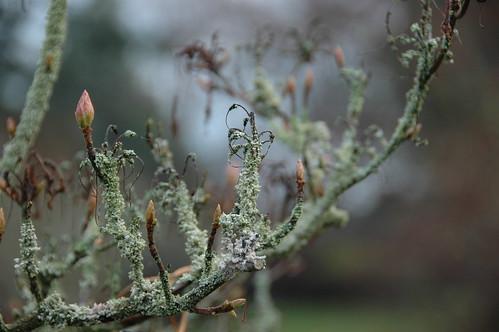 lichenised rhodedendron