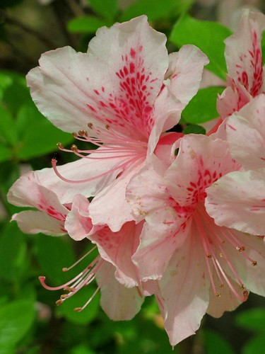 Pink spotted azaleas