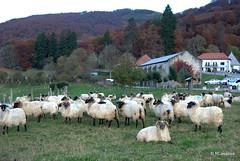 Ovejas lachas en un prado de Roncesvalles