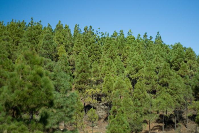 Pine forest, Pico de las Nieves