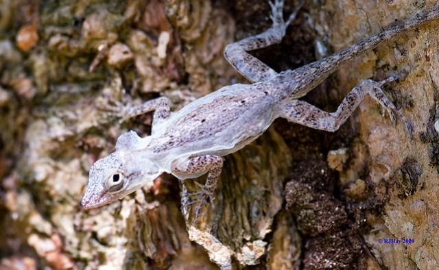 Lizard Molting - Punta Cana 2009