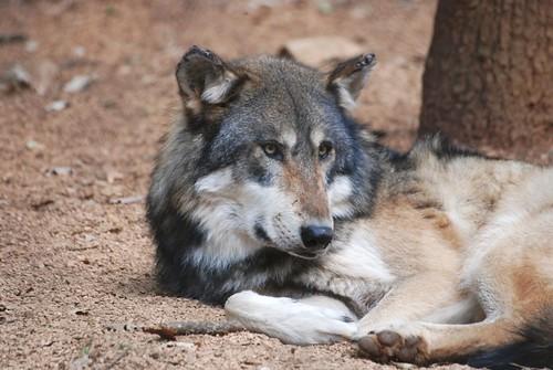 Wolf im Parc animalier de Gramat