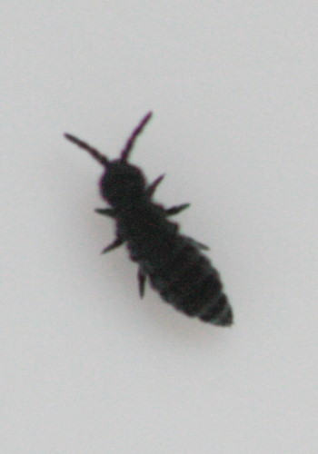 Snow flea (springtail), perhaps Hypogastrura nivicola