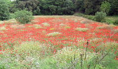 Veterans Day | Field of poppies