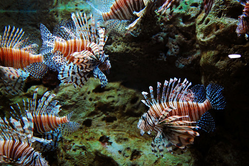 An amazing pride of lionfish.
