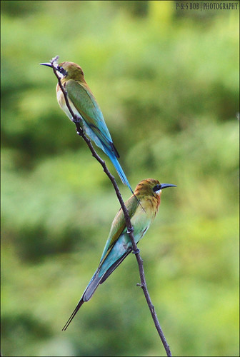 Blue-tailed Bee-eater (Merops philippinus)
