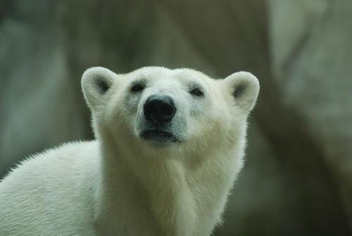 Eisbärin Freedom im  Ouwehands Dierenpark Rhenen