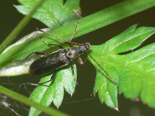 Longhorn beetle (Grammoptera ruficornis)