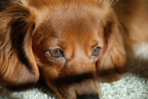 The Prettiest Dachshund in the World!