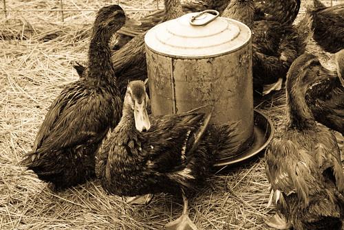 watering the ducks