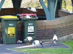 Australian white ibises near bins.