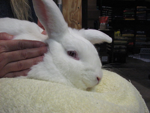 gus getting a bunny massage