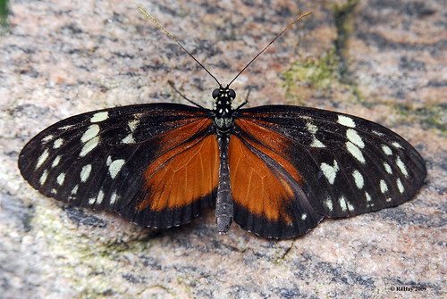 Tiger Longwing - Butterfly Conservatory, Niagara Falls, Ontario