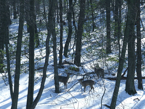 three deer in snowy woods 1