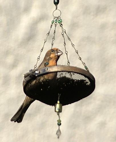 201003 House Finch