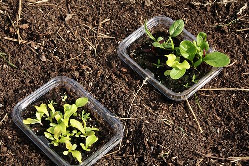 Lettuce Before Transplanting