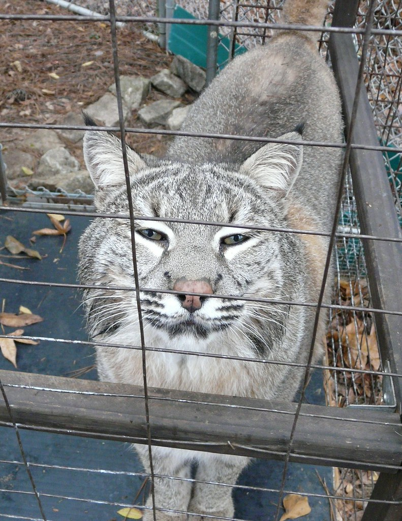 Flirty Arigato - SW Bobcat - L. rufus baileyi (Merriam)