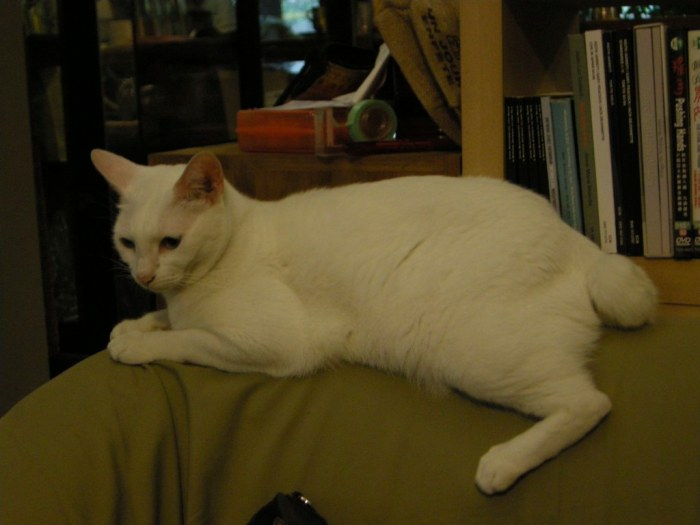 Japanese bobtail by Le Ciel Azuré, on Flickr