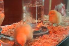 Cluck, cluck