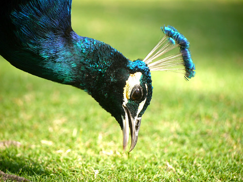 Grass munching peacock