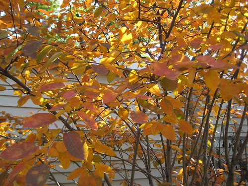 Serviceberry 'Autumn Brilliance' - morning