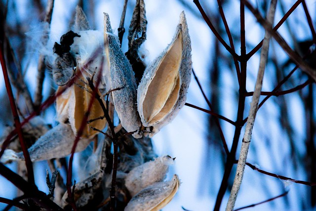 {12/365} milkweed pods