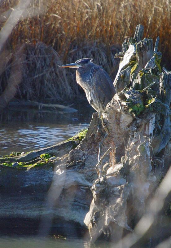 IMGP6715 Great Blue Heron