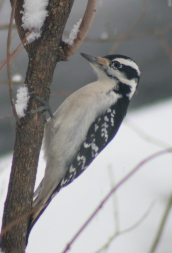New Year's Hairy Woodpecker