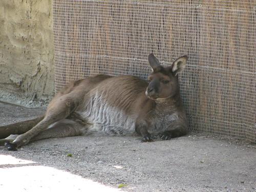 Kangaroo at the Melbourne Zoo
